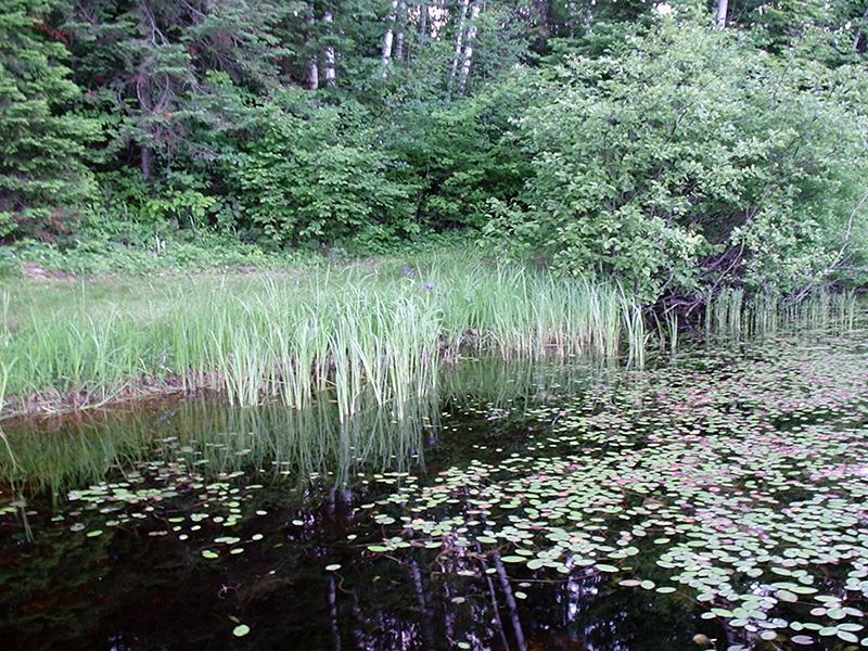 Natural shoreline with healthy aquatic vegetation.