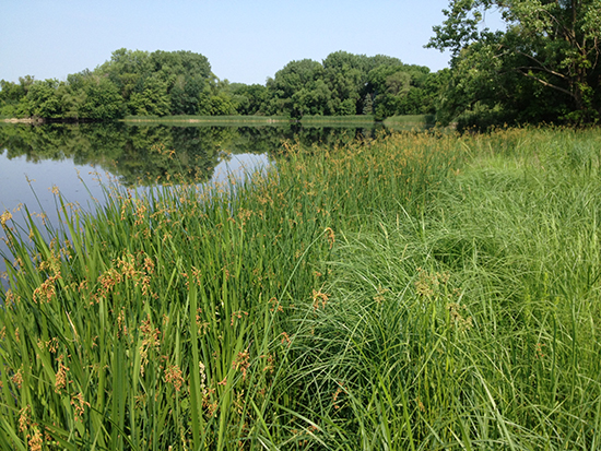 Photo provided from Ramsey-Washington Metro Watershed District showing bur-reed and soft-stem bulrush in the water and lake sedge and wool grass along the shore.