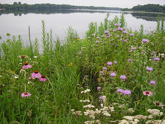 Photo provided from Ramsey-Washington Metro Watershed District showing a 5 year old successful shoreline restoration.