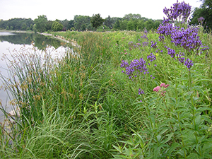 Shoreline restoration after 3 years. Photo: Ramsey-Washington Metro Watershed District