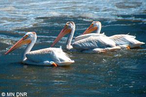 Minnesota River pelicans