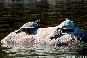 Turtles on Mississippi River