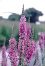 Purple loosestrife plant.
