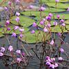 Close up of purple flowers of the Utricularia purpurea plants.