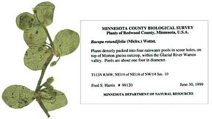 a pressed herbarium specimen