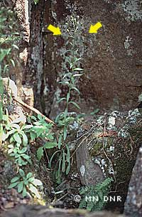 Bitter fleabane on rocky slope