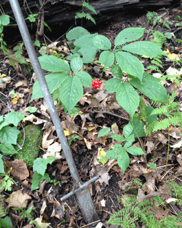 wild ginseng with digging implement