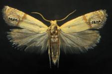 new species of moth