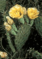 Plains prickly pear cactus .