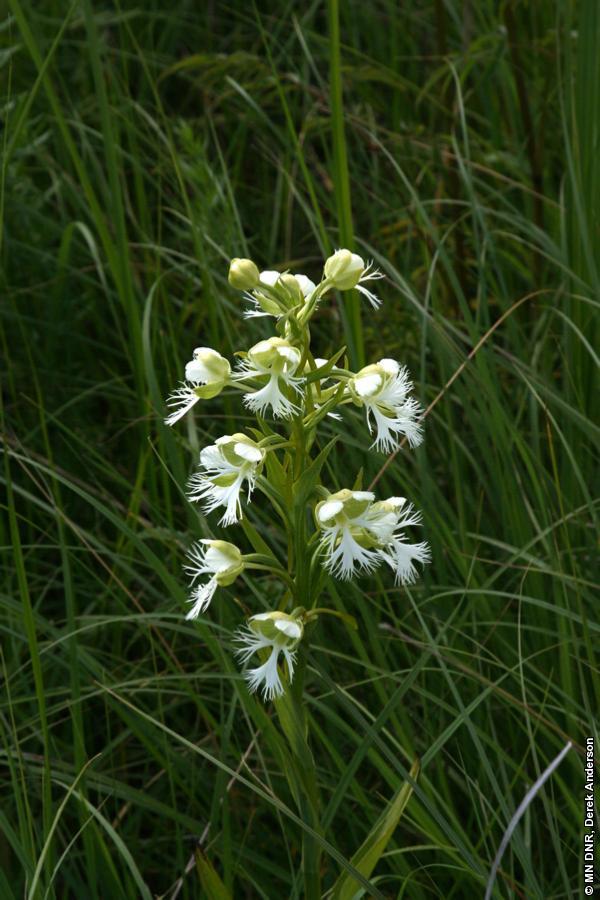 western prairie fringed orchid by Derek Anderson