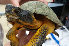 image of a wood turtle