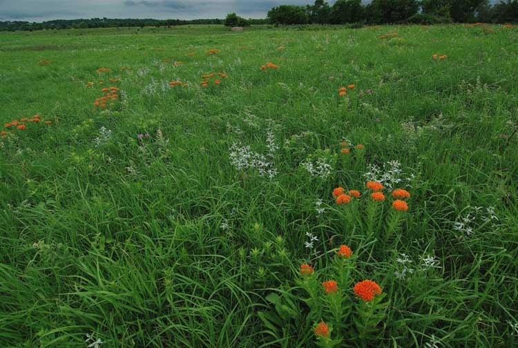 kasota prairie with butterfly weed