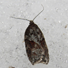Acleris maccana in the snow