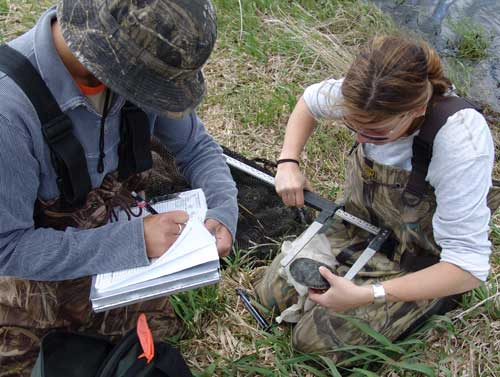 collecting data on a captured turtle