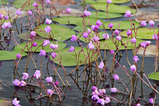 Flowers of the purple-flowered bladderwort