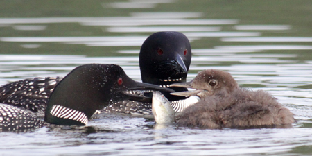Common Loons. Photo by Carrol Henderson, MN DNR