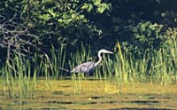 Great blue heron wading in a wetland.