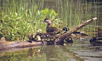 Ducklings on a log in the Big Sugarbush Lake Wildlife Management Area.