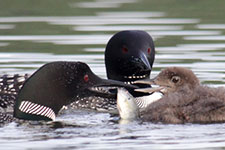 loons eating