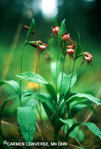 picture of a Ram's-head Lady Slipper