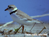 picture of a Piping Plover