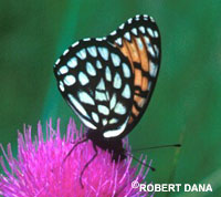 picture of the regal fritillary butterfly