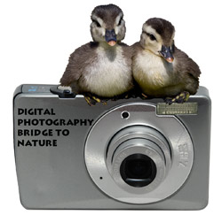ducklings on a camera: Digital Photography Bridge to Nature