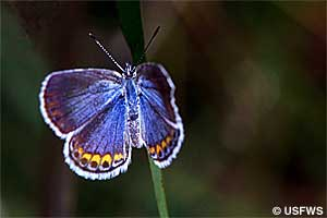 Karner blue butterfly