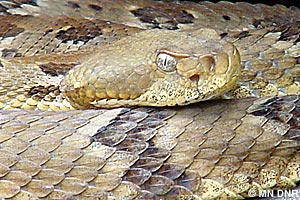 timber rattlesnake