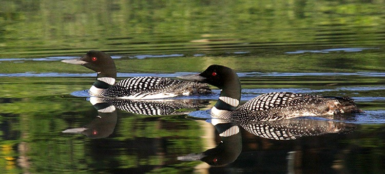 Adult and juvenile loon