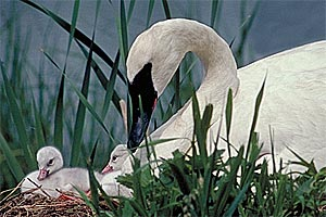 Trumpeter swan at nest with cygnets.