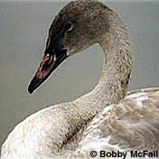 Close-up view of a trumpeter swan cygnet.
