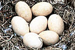 Trumpeter swan eggs.