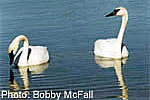 Two trumpeter swans on a lake.