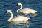 Trumpeter swans swimming with cygnets.