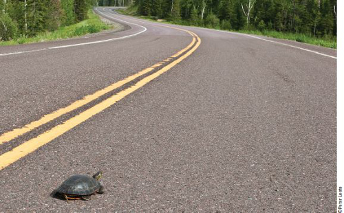 Painted turtle crossing a road.