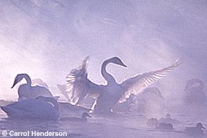 Tumpeter swan