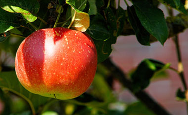 red apple hanging from tree