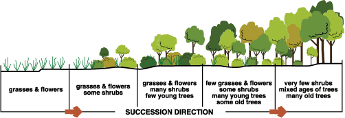 Graphic depicting vegetation associated with the different stages of succession.