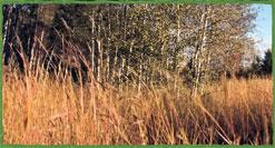 tall grass aspen parkland image