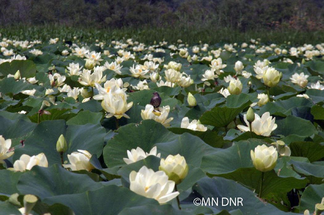 American Lotus Photo