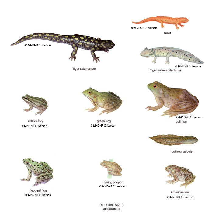 Amphibian Relative Sizes