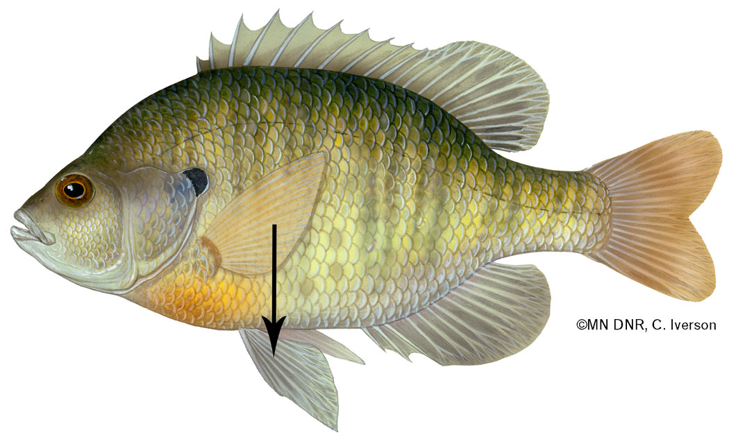 Bluegill Fins Vertically Aligned