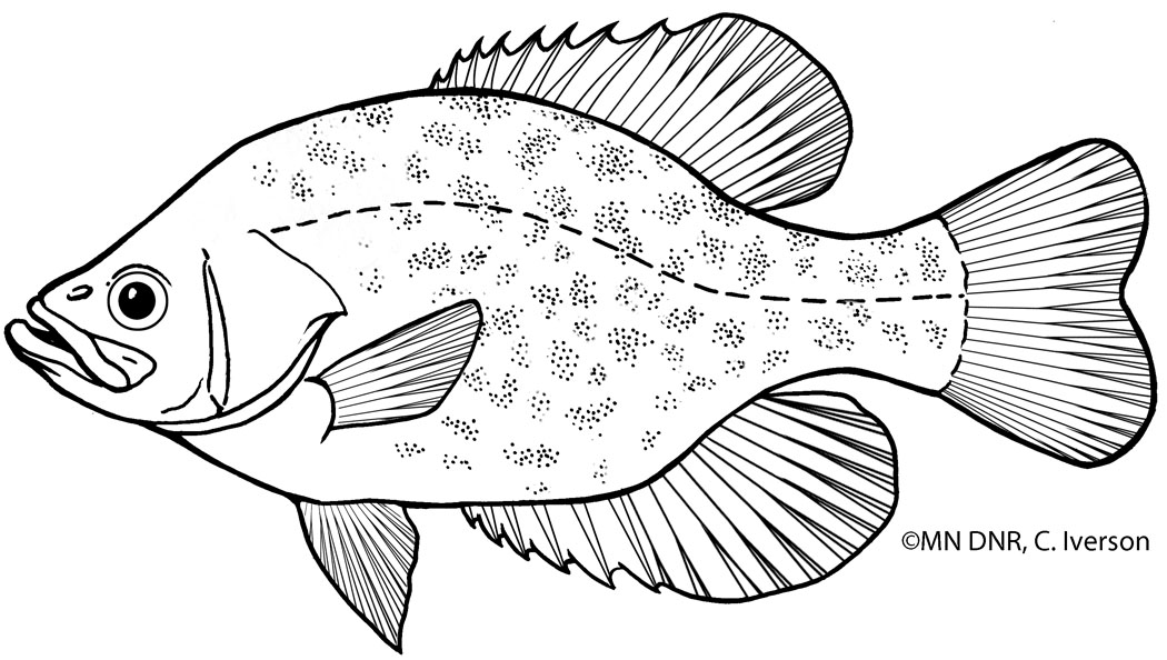 Black Crappie Outline