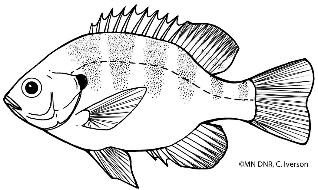 Bluegill Outline