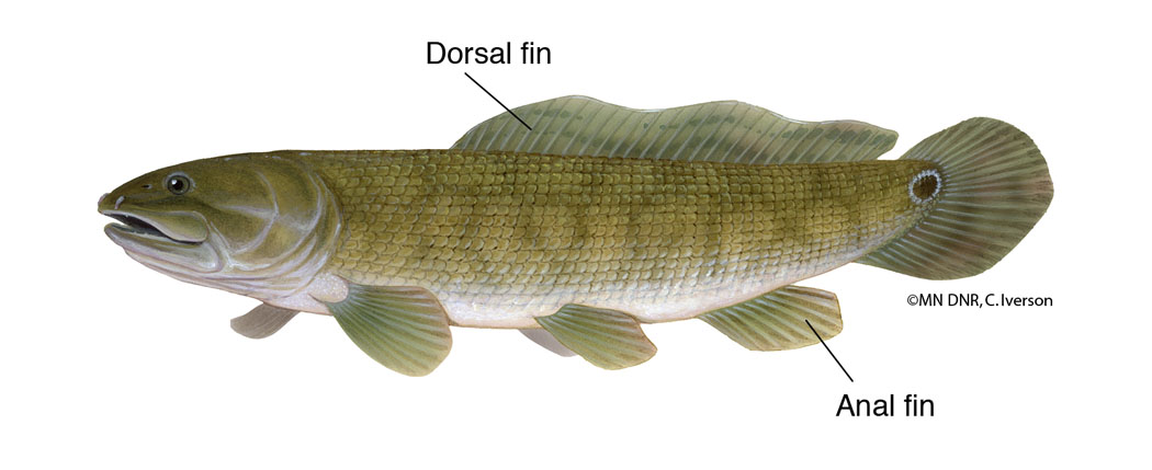 Bowfin Dorsal and Anal Fins