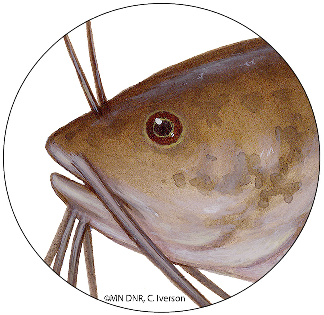 Brown Bullhead Eyes