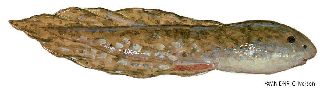 Bullfrog_tadpole