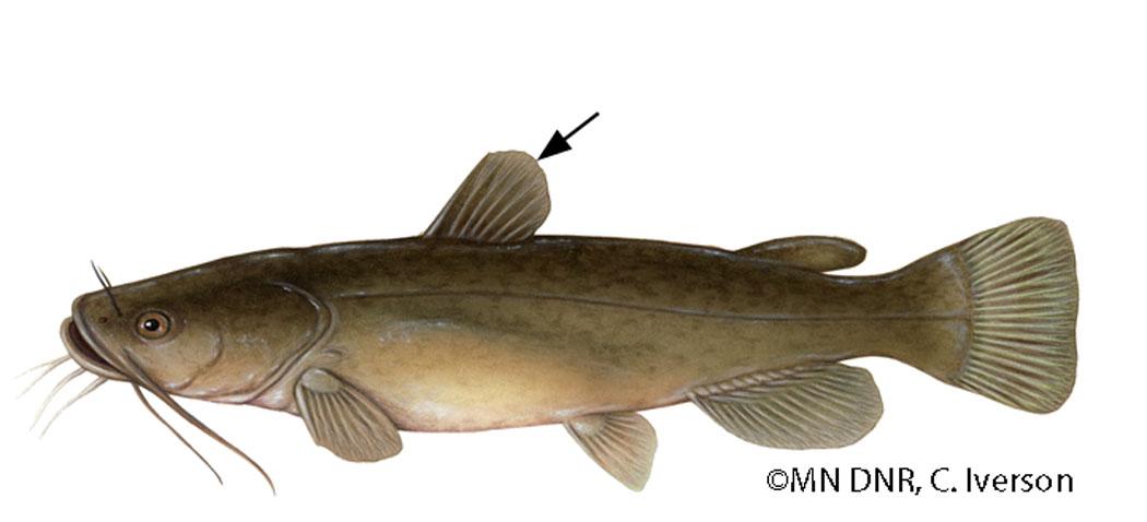 Catfish Dorsal Fin