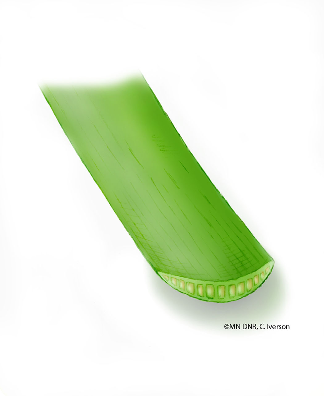 Cattail Leaf Cross Section